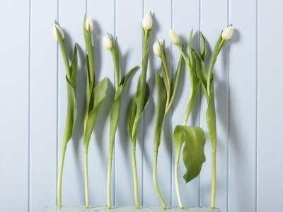 https://imgc.artprintimages.com/img/print/white-tulips-in-a-row_u-l-pzkt9p0.jpg?p=0