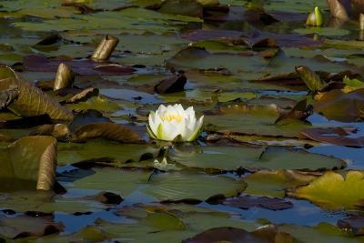 White Water Lilies (Nymphaea Marliacea 'Albida' or Nymphaea Alba) Flowering on Lake--Photographic Print