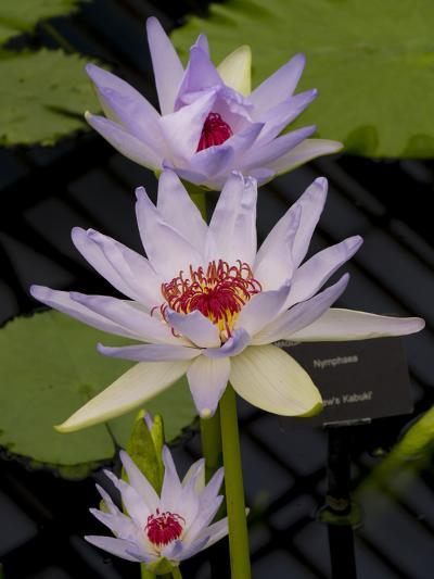 White Water Lily-Charles Bowman-Photographic Print