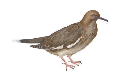 White-Winged Dove (Melopelia Asiatica), Birds-Encyclopaedia Britannica-Art Print