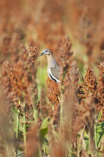 White-Winged Dove (Zenaida Asiatica) Perched on Sorghum, Texas, USA-Larry Ditto-Photographic Print