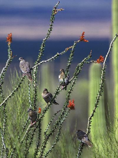 White-Winged Doves Perched on Ocotillo, Arizona Usa-Tim Fitzharris-Photographic Print