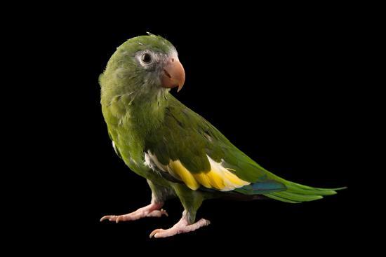 White winged parakeet, Brotogeris versicolurus, at Cafam Zoo.-Joel Sartore-Photographic Print
