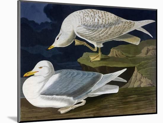 White-Winged Silvery Gull-John James Audubon-Mounted Giclee Print