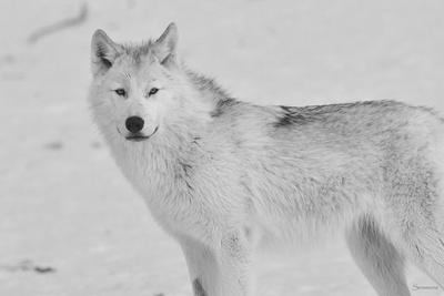 White Wolf 3-Gordon Semmens-Photographic Print