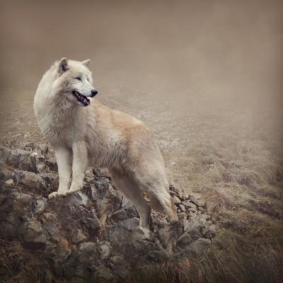 White Wolf at the Night-egal-Photographic Print
