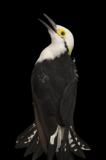 White Woodpecker, Melanerpes Candidus, from a Private Collection-Joel Sartore-Photographic Print