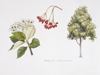 Whitebeam (Sorbus Aria ) Plant with Flower, Foliage and Fruit, Illustration--Photographic Print