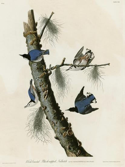 Whitebreasted Black Capped Nuthatch--Giclee Print