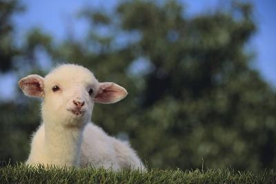 Whitefaced Lamb in the Pasture-DLILLC-Photographic Print