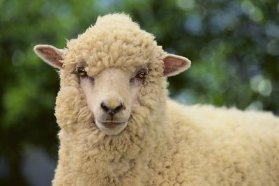 Whitefaced Sheep-DLILLC-Photographic Print