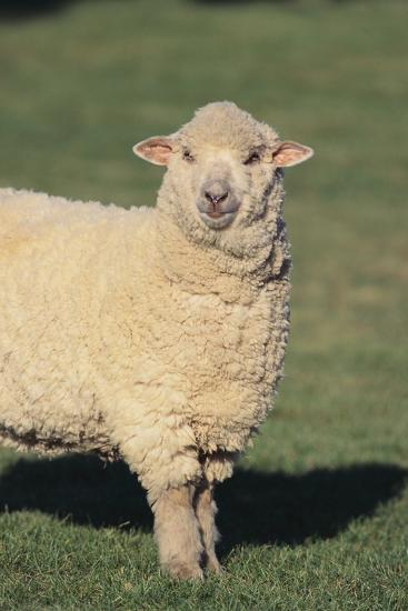 Whitefaced Woodland Sheep-DLILLC-Photographic Print
