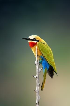 Whitefronted Bee-Eater (Merops Bullockoides) Kruger National Park (South Africa)-Johan Swanepoel-Photographic Print