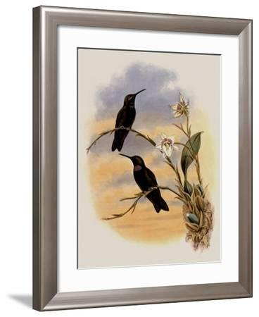 Whitely's Hummingbird, Ionol�ma Whitelyana-John Gould-Framed Giclee Print