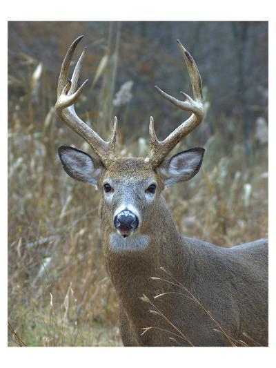 Whitetail Deer Buck Closeup--Art Print