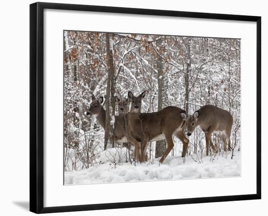 Whitetail Deer-Lynn_B-Framed Photographic Print