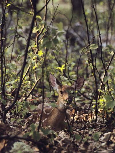 Whitetail Fawn Hides from Predators, Shenandoah National Park, Virginia-Sam Abell-Photographic Print