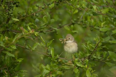Whitethroat (Sylvia Communis) Adult Perched in Blackthorn Hedgerow with Insect, Cambridgeshire, UK-Andrew Parkinson-Photographic Print