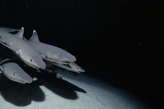 Whitetip Reef Shark Pack Hunting at Night (Triaenodon Obesus) Cocos Is, Costa Rica, Pacific Ocean--Photographic Print