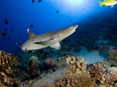 Whitetip Reef Shark (Triaenodon Obesus), Hawaii, USA-David Fleetham-Photographic Print