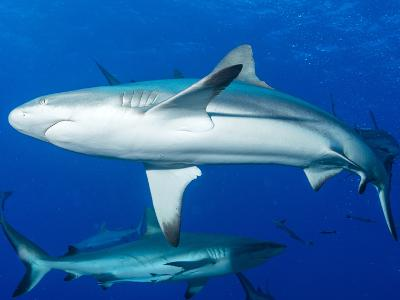 Whitetip Reef Shark (Triaenodon Obesus) Is a Requiem Shark in the Genus Carcharinidae-Louise Murray-Photographic Print