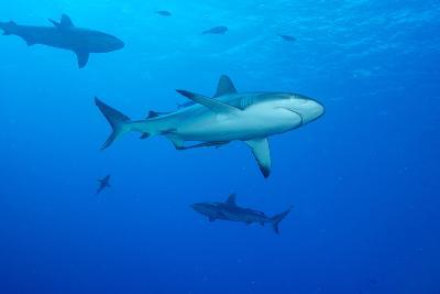 Whitetip Reef Shark (Triaenodon Obesus) Is a Requiem Shark in the Genus Carcharinidae-Louise Murray-Photographic Print