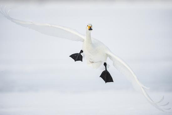 Whooper Swan (Cygnus Cygnus) Mid Flight over the Frozen Lake, Kussharo, Hokkaido, Japan-Wim van den Heever-Photographic Print
