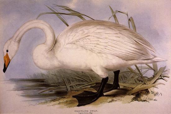 Whooper Swan, Cygnus Cygnus-Edward Lear-Giclee Print