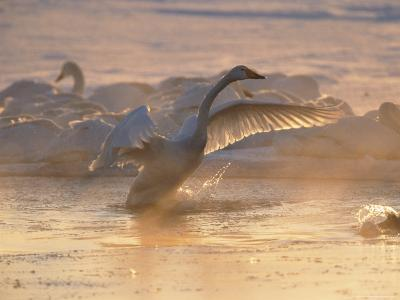 Whooper Swan Flaps Its Wings as It Warms Itself at Sunrise-Tim Laman-Photographic Print