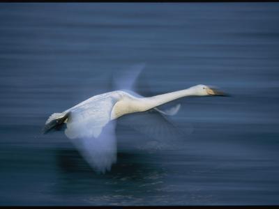 Whooper Swan Flies Low Over Water-Tim Laman-Photographic Print