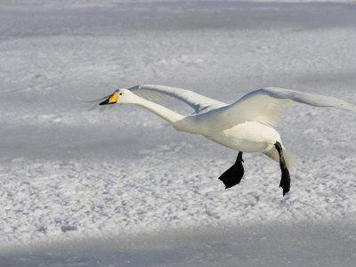 Whooper Swan in Flight, Olor Cygnus-John Cornell-Photographic Print
