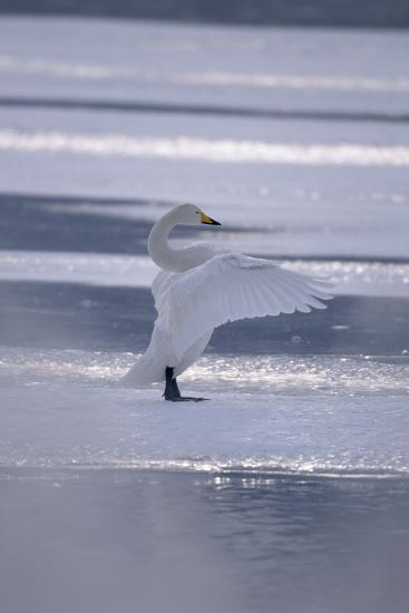 Whooper Swan Standing on Ice-DLILLC-Photographic Print