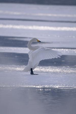 https://imgc.artprintimages.com/img/print/whooper-swan-standing-on-ice_u-l-pzr5gz0.jpg?p=0