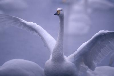Whooper Swan Stretching Wings-DLILLC-Photographic Print