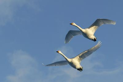 Whooper Swan Two in Flight--Photographic Print