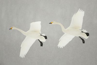 Whooper Swans (Cygnus Cygnus) Two In Flight, During Snowfall, Lake Kussharo, Japan, February-Danny Green-Photographic Print