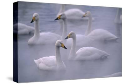 Whooper Swans Floating on Water-DLILLC-Stretched Canvas Print