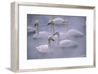 Whooper Swans Floating on Water-DLILLC-Framed Premium Photographic Print