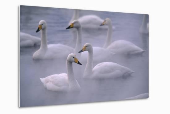 Whooper Swans Floating on Water-DLILLC-Metal Print