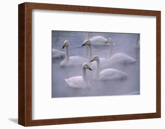 Whooper Swans Floating on Water-DLILLC-Framed Photographic Print