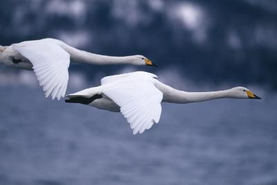 Whooper Swans Flying over Lake-DLILLC-Photographic Print