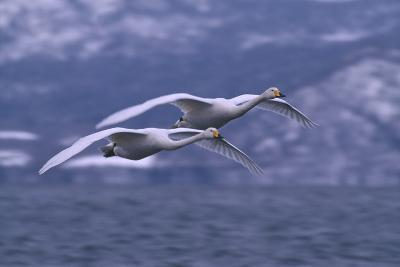 Whooper Swans Flying over Water-DLILLC-Photographic Print