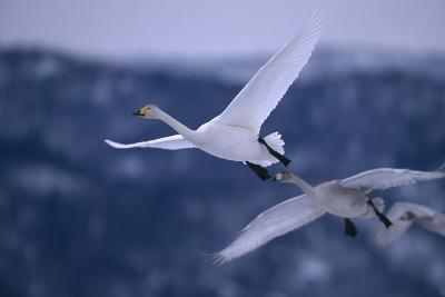 Whooper Swans Flying-DLILLC-Photographic Print