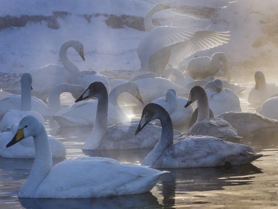Whooper swans, Hokkaido Island, Japan-Art Wolfe-Photographic Print