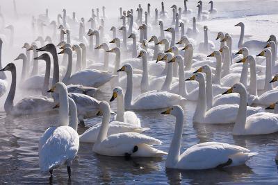 Whooper Swans, Hokkaido, Japan-Art Wolfe-Photographic Print
