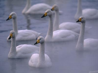 Whooper Swans in Water--Photographic Print