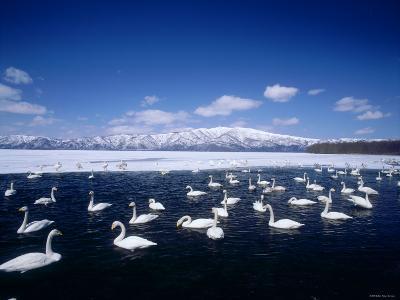 Whooper Swans, Lake Kussharo, Hokkaido, Japan--Photographic Print
