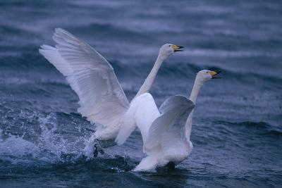 Whooper Swans Landing in Water-DLILLC-Photographic Print