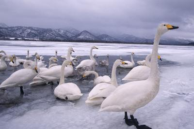 Whooper Swans on Frozen Lake-DLILLC-Photographic Print