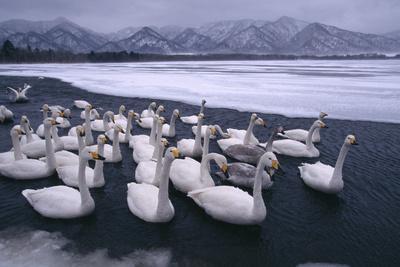 Whooper Swans on Frozen Lake-DLILLC-Photographic Print